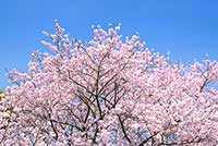 xcherry-blossom_00008.jpg.pagespeed.ic.zsfCB4zF-I[1]