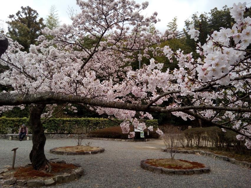 川西市 満願寺の桜