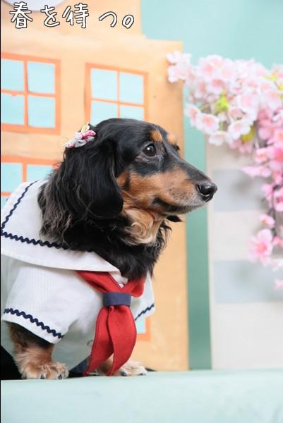 桜 ダックス