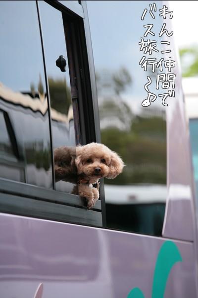 バスの窓からプードル