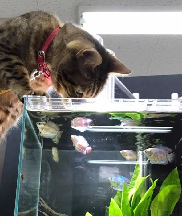 水槽を狙う猫
