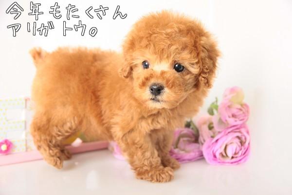ルルプー仔犬