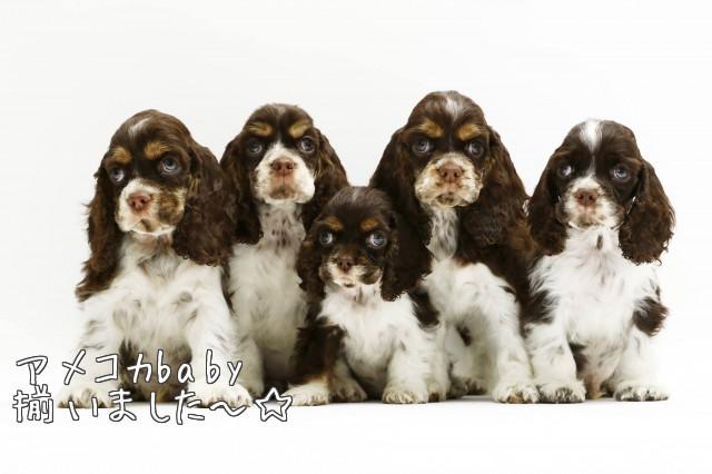 アメリカンコッカー 子犬