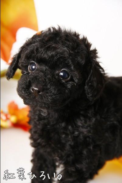 黒プードル 仔犬