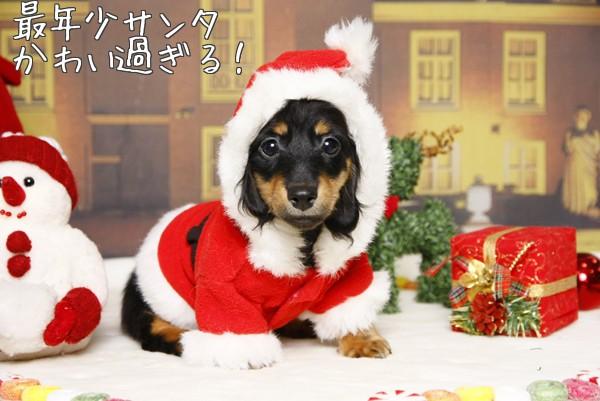 ダックス子犬サンタ
