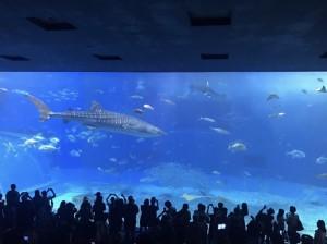 迫力満点!美ら海水族館のジンベエザメ