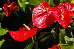夏に人気のトロピカルなお花アンスリウム