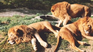 南紀白浜 アドベンチャーワールド サファリパーク 動物 触れ合い ツアー バス ジープ ライオン エサやり