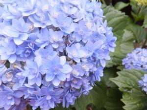 紫陽花の品種てまりてまり