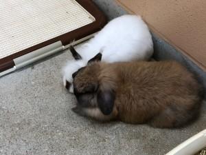ふたり仲良くお昼寝とてもキュートなうさぎさん