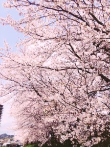 京都府亀岡市の河川敷の桜並木