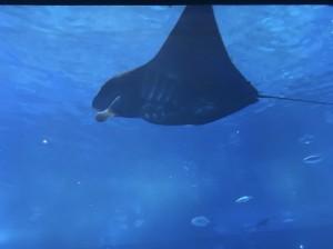 美ら海水族館にいるマンタ