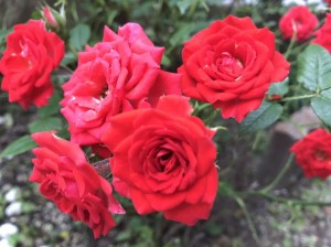 お庭に咲いたバラの花