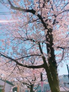 桜 嵐山 京都 春 観光 満開