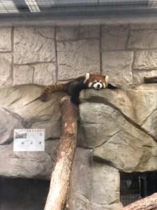癒やしのレッサーパンダ