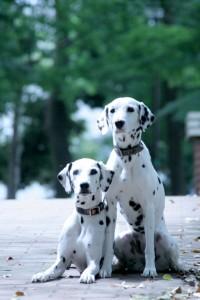 大型犬人気ランキングトップのダルメシアン