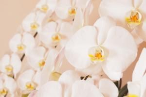 コチョウランの花言葉は幸福が飛んでくる