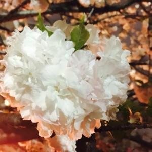 小手毬という桜