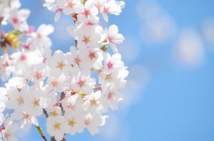 桜が綺麗な季節に結婚式を検討