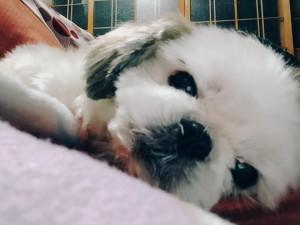 家族や近所からの人気者☆シーズー犬のぶーちゃん