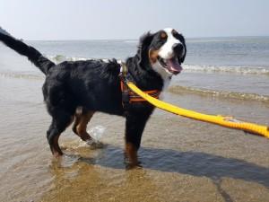 大型犬人気ランキング