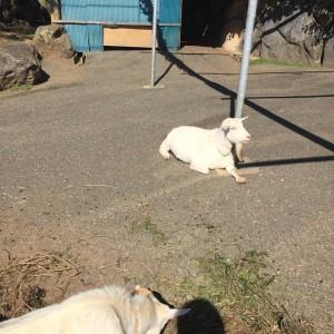 能古島のヤギ